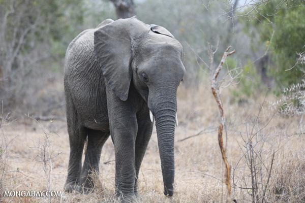 Elephant [south_africa_kruger_5216]