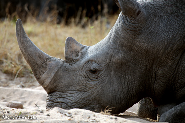 Rhino in South Africa. Photo by Rhett A. Butler