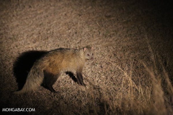 White-tailed mongoose (Ichneumia albicauda) [south_africa_kruger_5279]