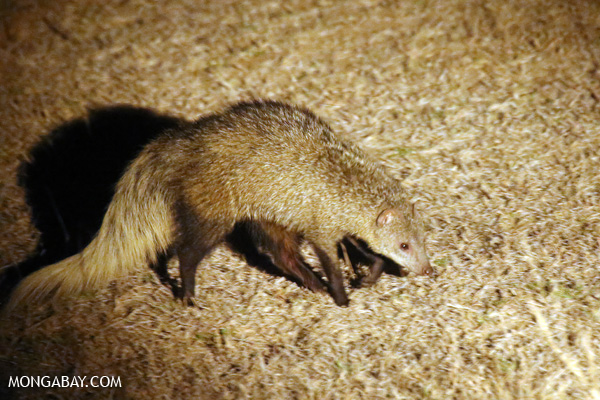 White-tailed mongoose (Ichneumia albicauda) [south_africa_kruger_5283]