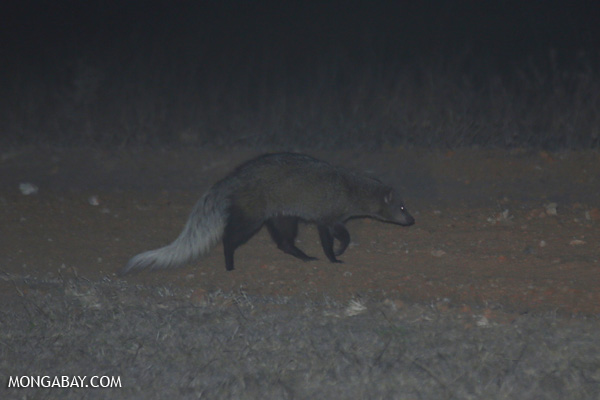 White-tailed mongoose (Ichneumia albicauda) [south_africa_kruger_5287]