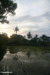 Sunset over rice paddies in Bali (Ubud, Bali)