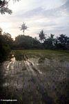 Sunset over rice fields in Bali (Ubud, Bali)