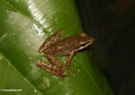 Brown frog on leaf in Bali (Ubud, Bali)
