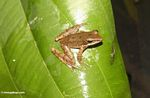 Brown frog on leaf in Ubud (Ubud, Bali) -- bali7891