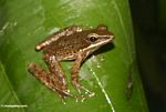 Brown frog on leaf in Ubud (Ubud, Bali)