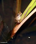 Brown frog on stem in Ubud (Ubud, Bali)