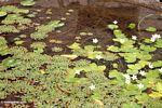 Lilly pads in pond (Ubud, Bali)