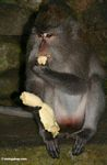Long-tailed macaque eating a banana (Ubud, Bali)