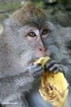 Long-tailed macaque eating a banana (Ubud, Bali) -- bali7949