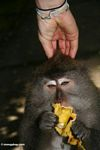 Long-tailed macaque eating a banana while having its head scatched by a tourist (Ubud, Bali)