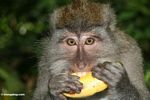 Crab-eating macaque consuming a banana (Ubud, Bali)