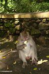 Male Macaca fascicularis eating a banana (Ubud, Bali)