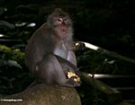Male Long-tailed macaque eating a tuber  in the Monkey Forest at Ubud (Ubud, Bali)