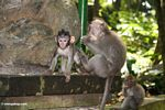 Male Long-tailed macaque (Macaca fascicularis) with baby (Ubud, Bali)