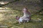 Macaques playing (Ubud, Bali)