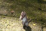 Juvenile macaque (Ubud, Bali)