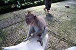 Macaque on leg (Ubud, Bali)