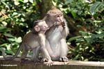 Mother Macaque with juvenile (Ubud, Bali)