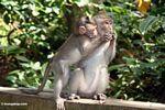Long-tailed macaque (Macaca fascicularis) (Ubud, Bali) -- bali8008