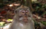 Long-tailed macaque (Macaca fascicularis) (Ubud, Bali) -- bali8021