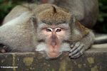 Long-tailed macaque (Macaca fascicularis) (Ubud, Bali) -- bali8026