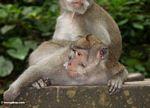 Long-tailed macaque (Macaca fascicularis) (Ubud, Bali) -- bali8027