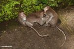 Long-tailed macaque (Macaca fascicularis) (Ubud, Bali) -- bali8033