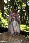 Long-tailed macaque (Macaca fascicularis) (Ubud, Bali) -- bali8044