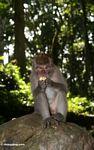 Long-tailed macaque (Macaca fascicularis) (Ubud, Bali) -- bali8045