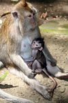 Mama macaque monkey with breast-feeding baby (Ubud, Bali)