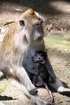 Mother macaque monkey with suckling baby (Ubud, Bali)