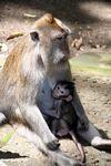 Mother macaque monkey with suckling baby (Ubud, Bali)