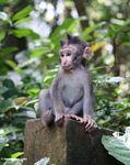 Baby macaque monkey (Ubud, Bali)