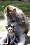 Mother macaque monkey braiding the fur of a baby (Ubud, Bali)