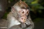 Young macaque eating a fruit (Ubud, Bali)