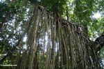 Strangler fig roots (Ubud, Bali)