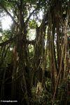 Strangler fig roots (Ubud, Bali) -- bali8156