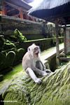 Macaques yawning while sitting on statue (Ubud, Bali)
