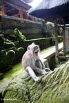 Macaques yawning while sitting on statue (Ubud, Bali)