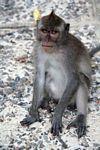 Mohawk macaque (Ubud, Bali)