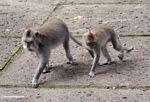 Macaques walking (Ubud, Bali)