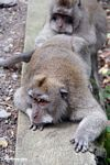 Crab-eating monkey (Macaca fascicularis) resting (Ubud, Bali)