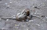 Macaques wrestling (Ubud, Bali)