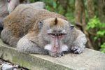Crab-eating monkey (Macaca fascicularis) resting (Ubud, Bali) -- bali8228