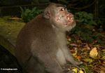 Long-tailed macaque injured by fighting (Ubud, Bali)