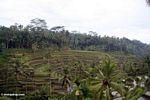 Balinese rice terraces (Ubud, Bali)