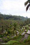 Rice terraces of Tegallantang (Ubud, Bali)