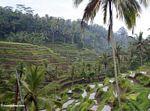 Balinese terraced rice fields (Ubud, Bali)