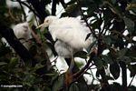 White herons of Petulu (Ubud, Bali)